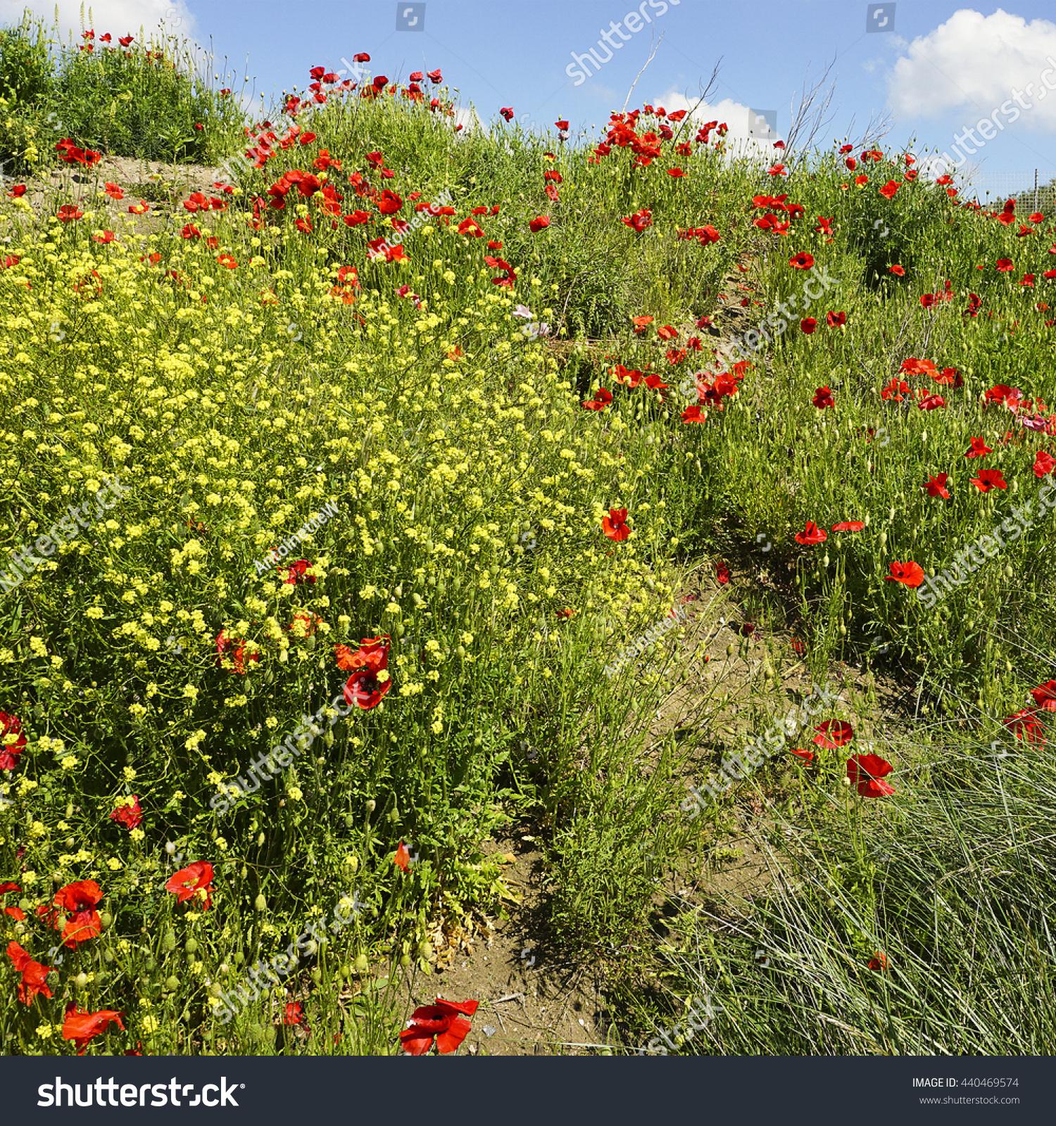 Wild flowers like poppies charlock field stock photo 440469574 wild flowers like poppies charlock field stock photo 440469574 shutterstock mightylinksfo