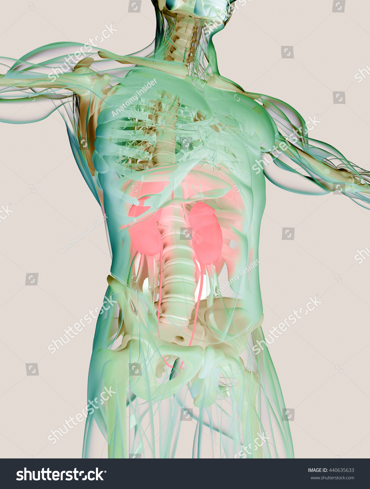 Kidneys Human Anatomy Xraylike View Futuristic Stock Illustration