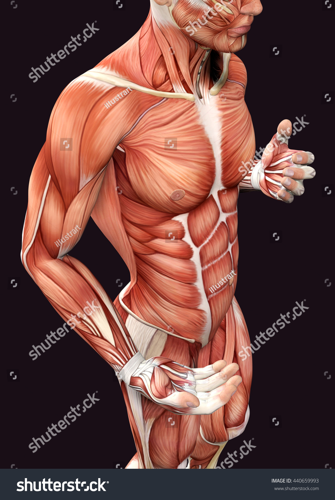 3 D Male Anatomy Showing Torso Stock Illustration 440659993 ...
