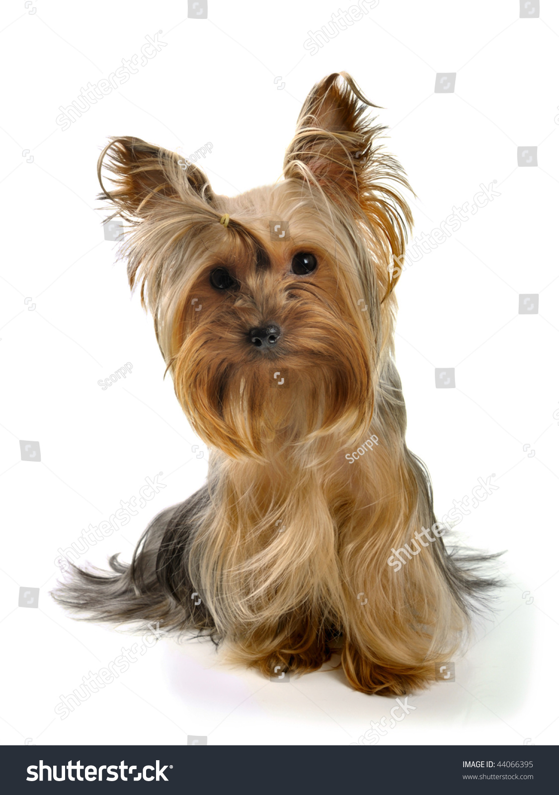 yorkshire terrier white yorkshire terrier on the white background stock photo 1814
