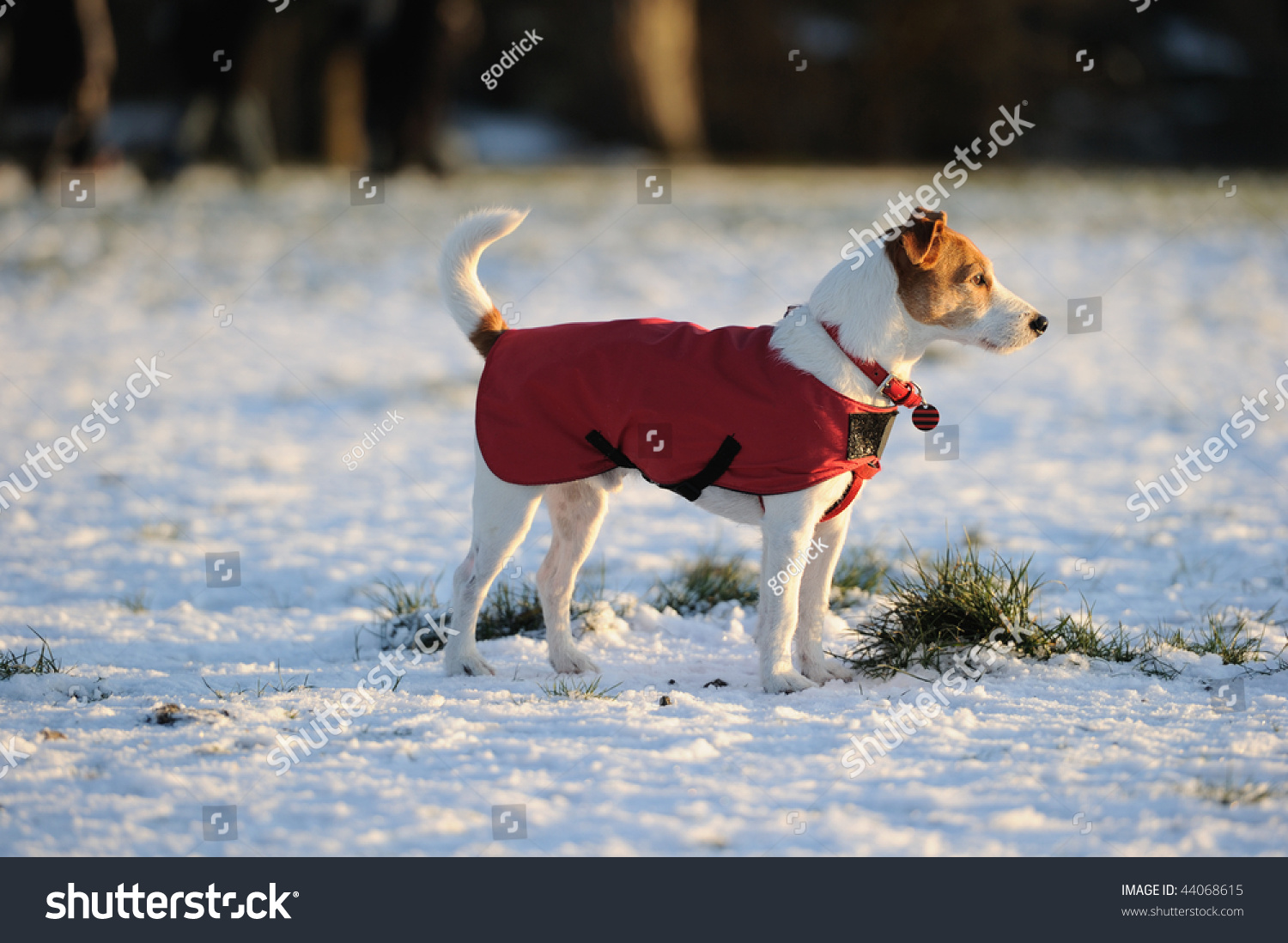 Parson Jack Russell Bright Red Winter Stock Photo 44068615