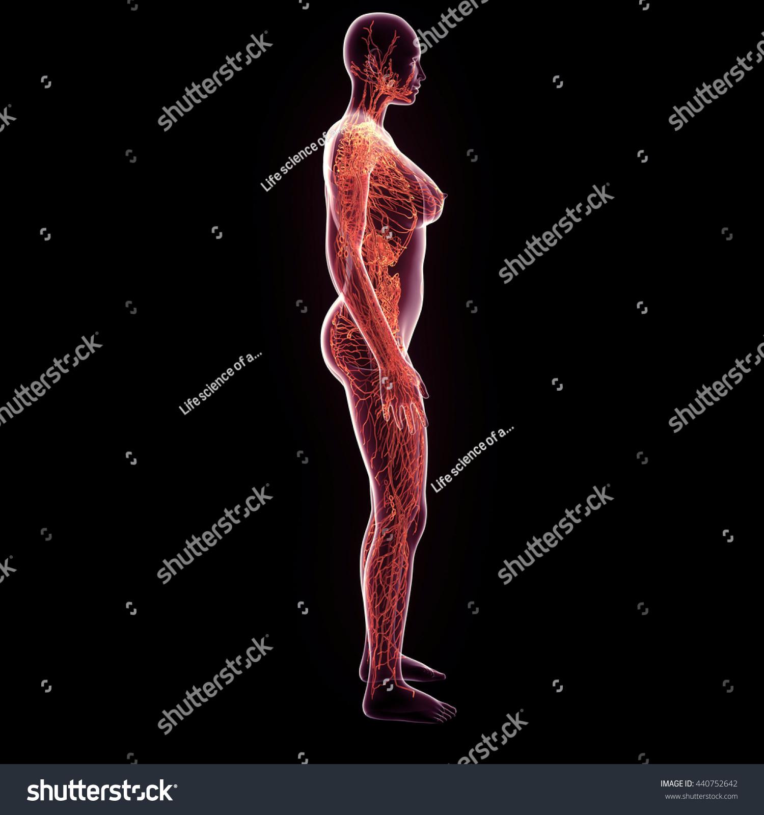 3d Rendered Female Nerves Medical Illustration