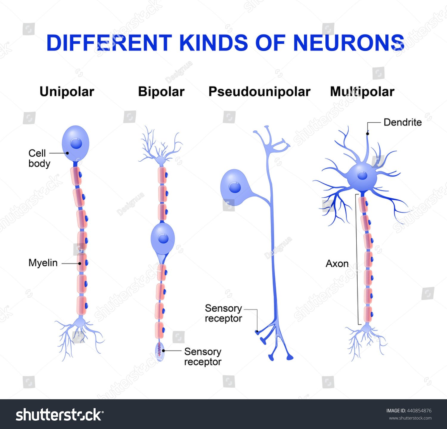 Different kinds neurons structure typical neuron em ilustrao stock different kinds of neurons structure of a typical neuron ccuart Images