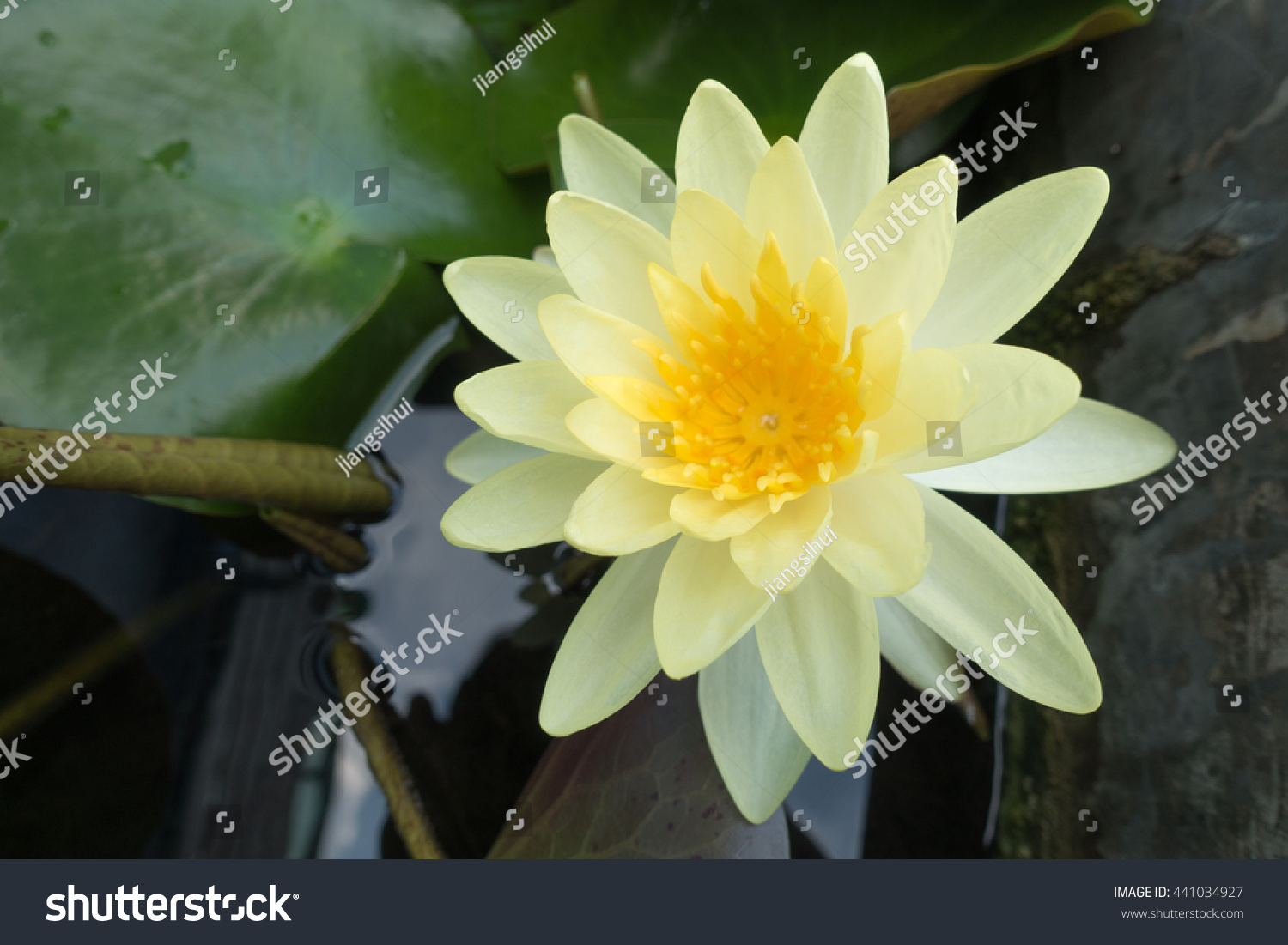 Pictures Of Yellow Lotus Flower In Water Rock Cafe