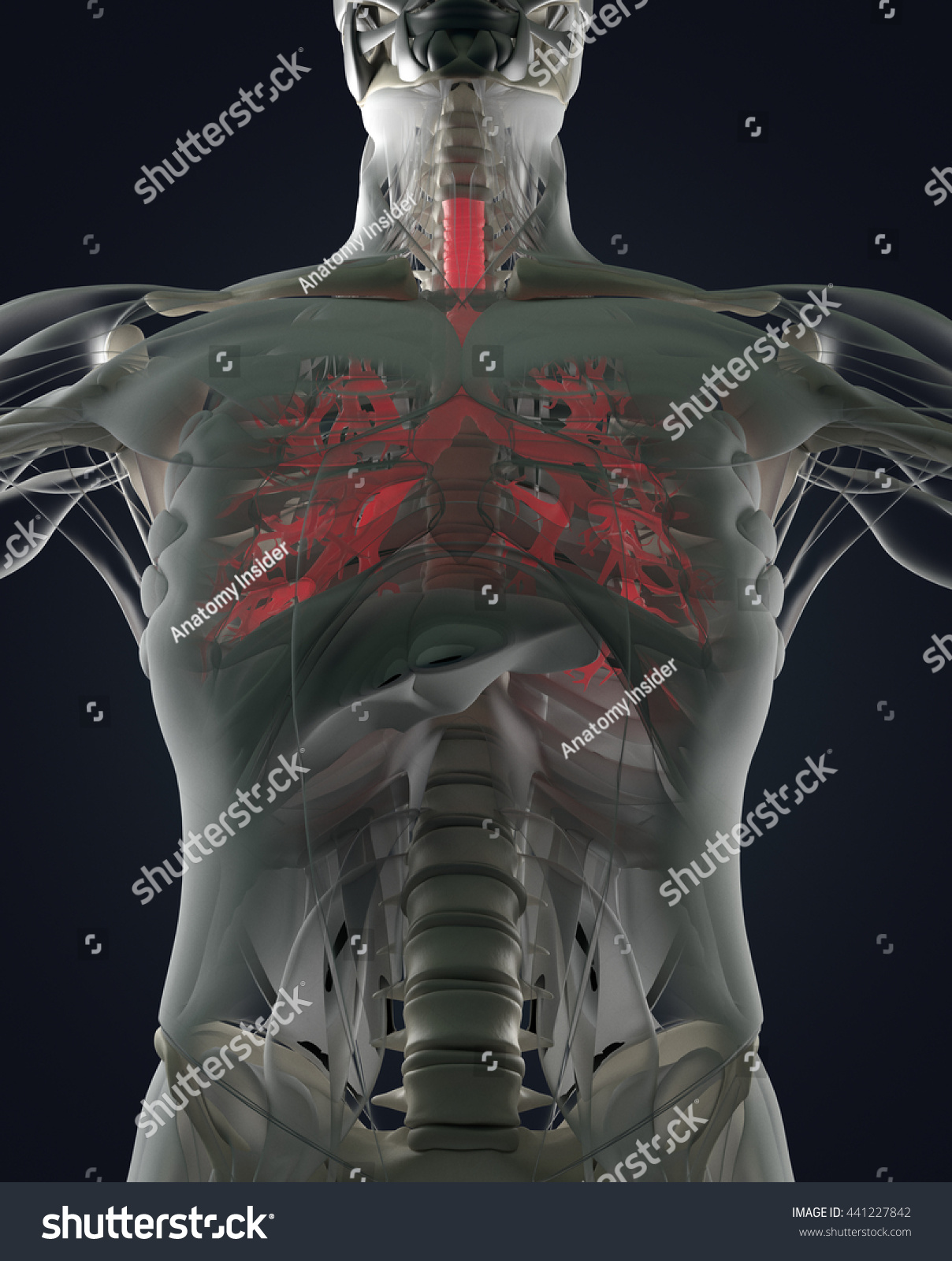 Bronchi Human Anatomy Lungs Futuristic Scan Stock Illustration