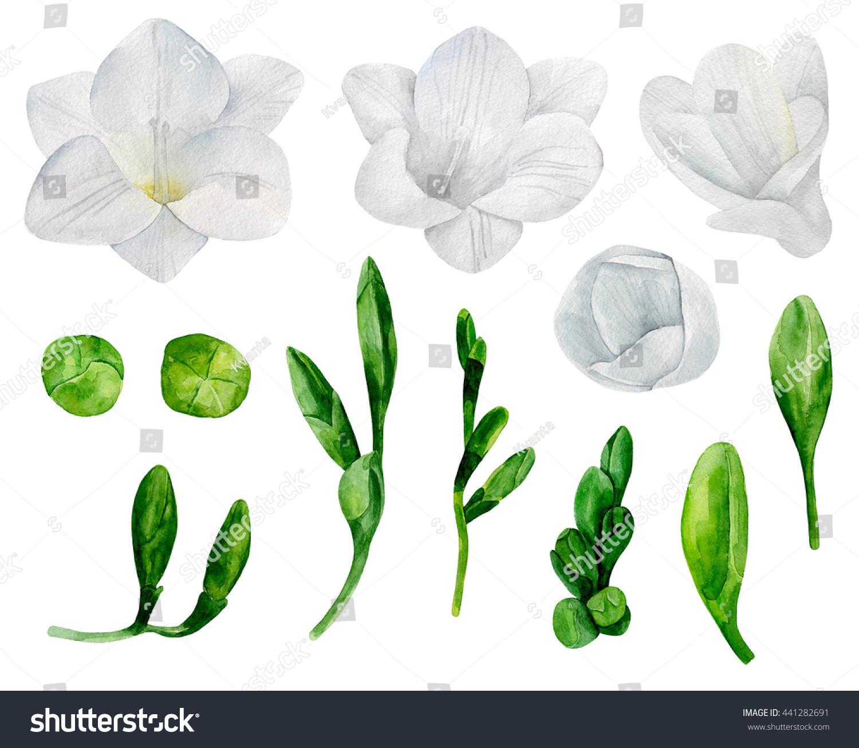 White Freesia Flowers Clipart Watercolor Wedding Stock Illustration