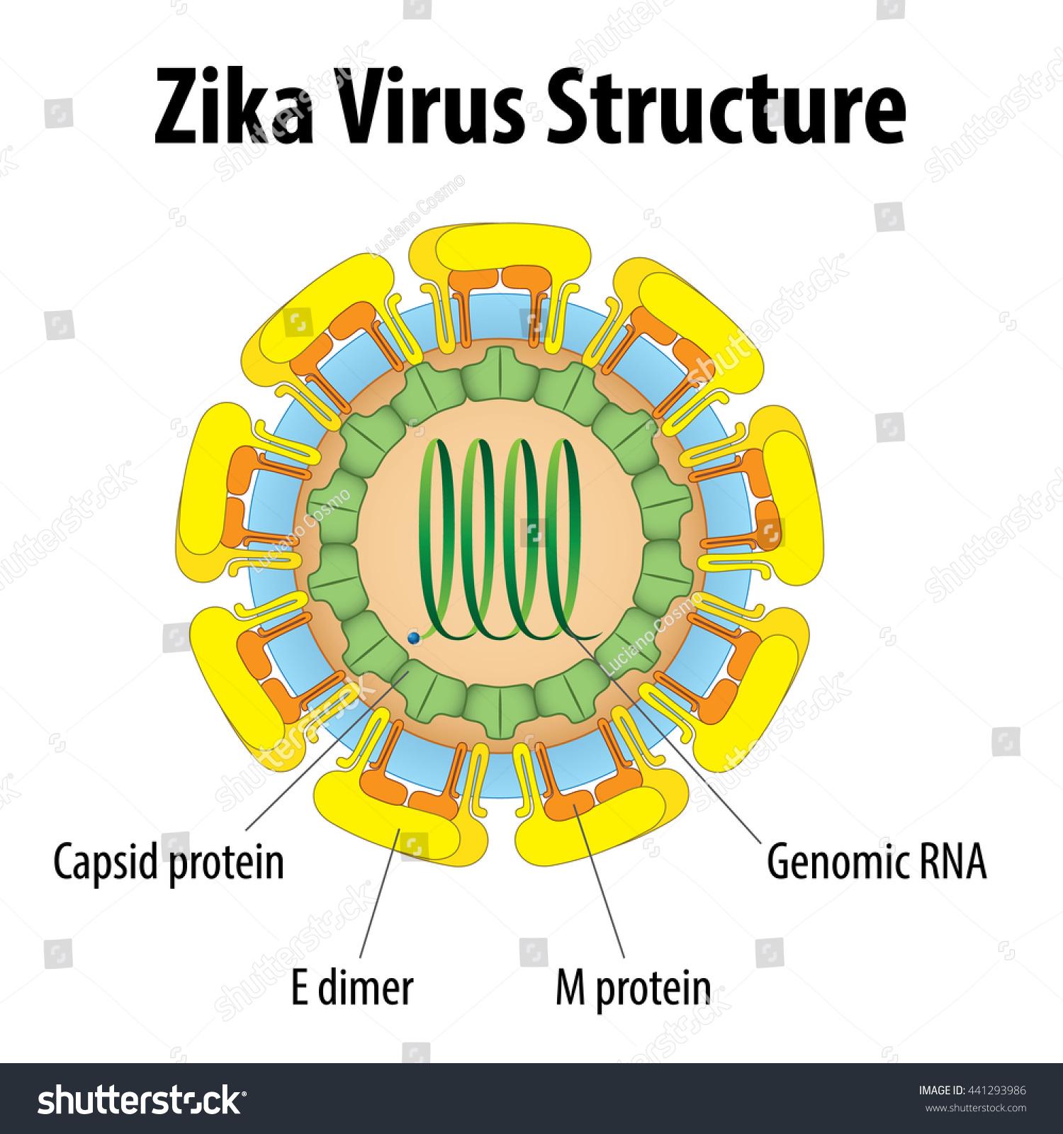 Chemistry Biology Zika Virus Structure Ideal Stock Vector ...