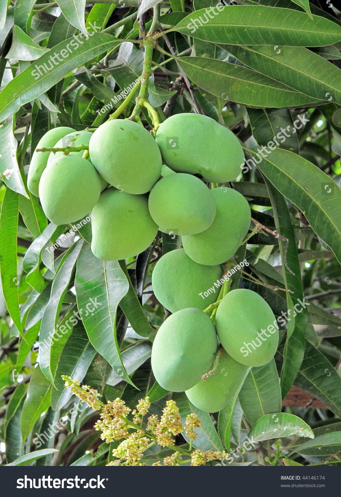 mango tree full fruits stock photo 44146174