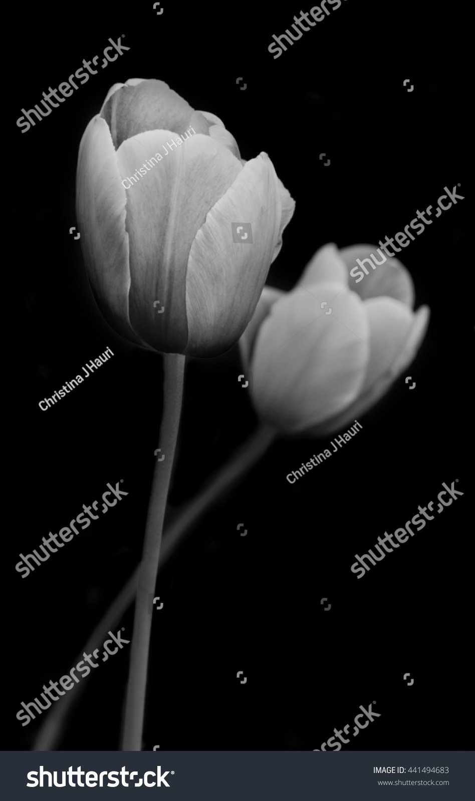 Tulips Black White Photography Stock Photo Edit Now 441494683
