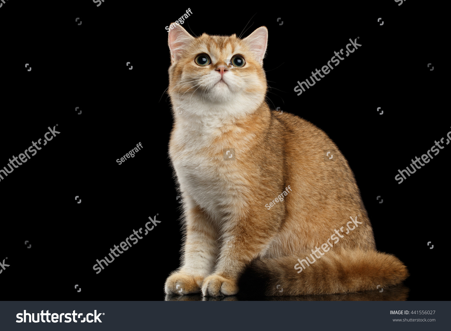 Golden Chinchilla cat: description of the breed, character, characteristics of care and maintenance 43