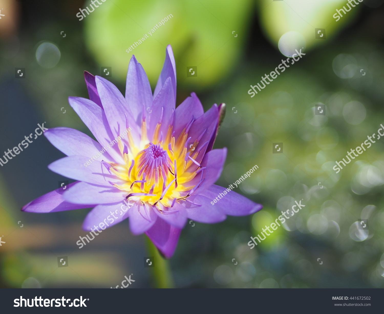 Thai lotus flower park stock photo edit now 441672502 shutterstock thai lotus flower in the park izmirmasajfo