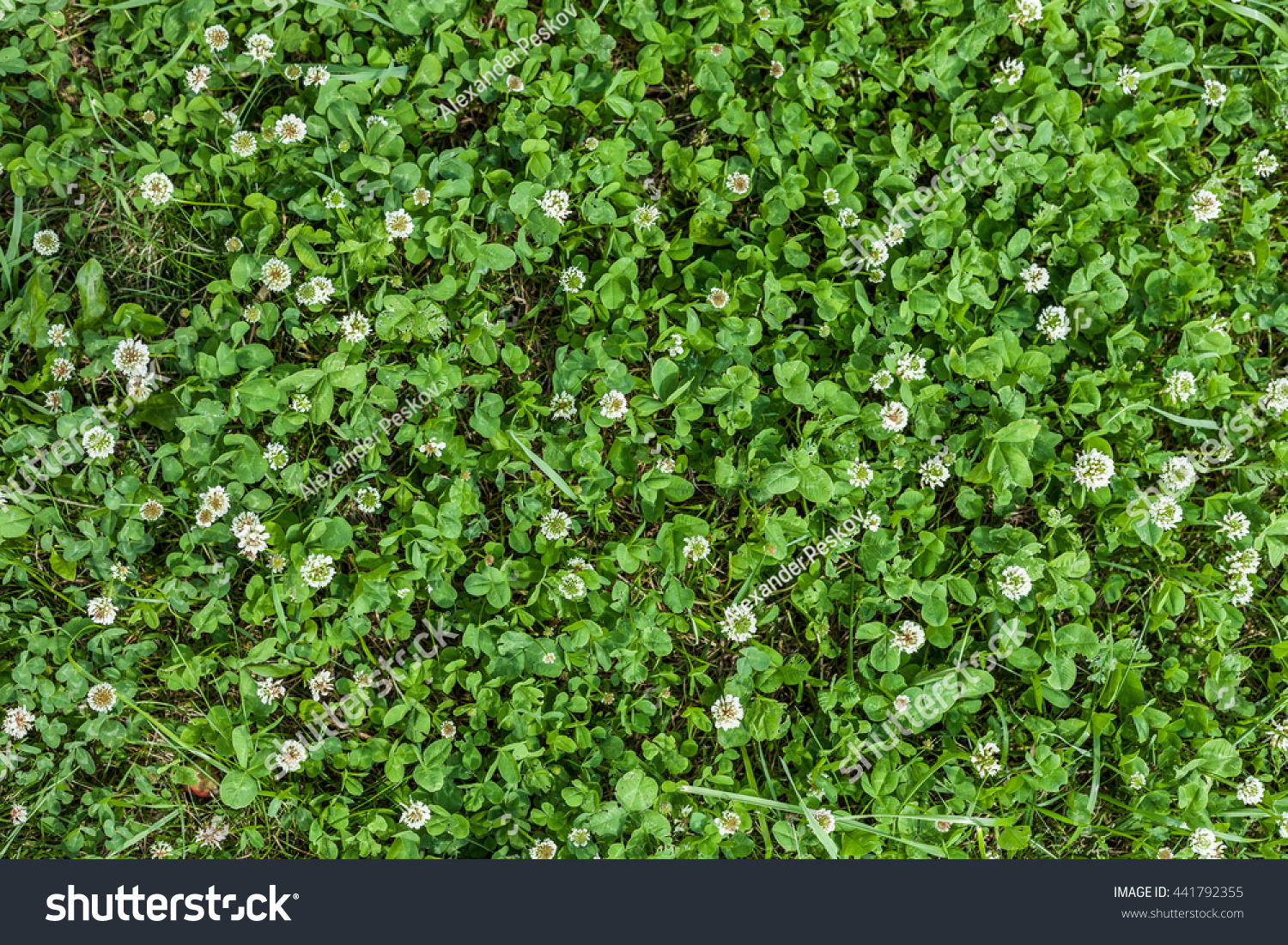 Texture grass white flowers clover trefoil stock photo edit now texture of grass with white flowers clover trefoil surrounded grass top view close mightylinksfo