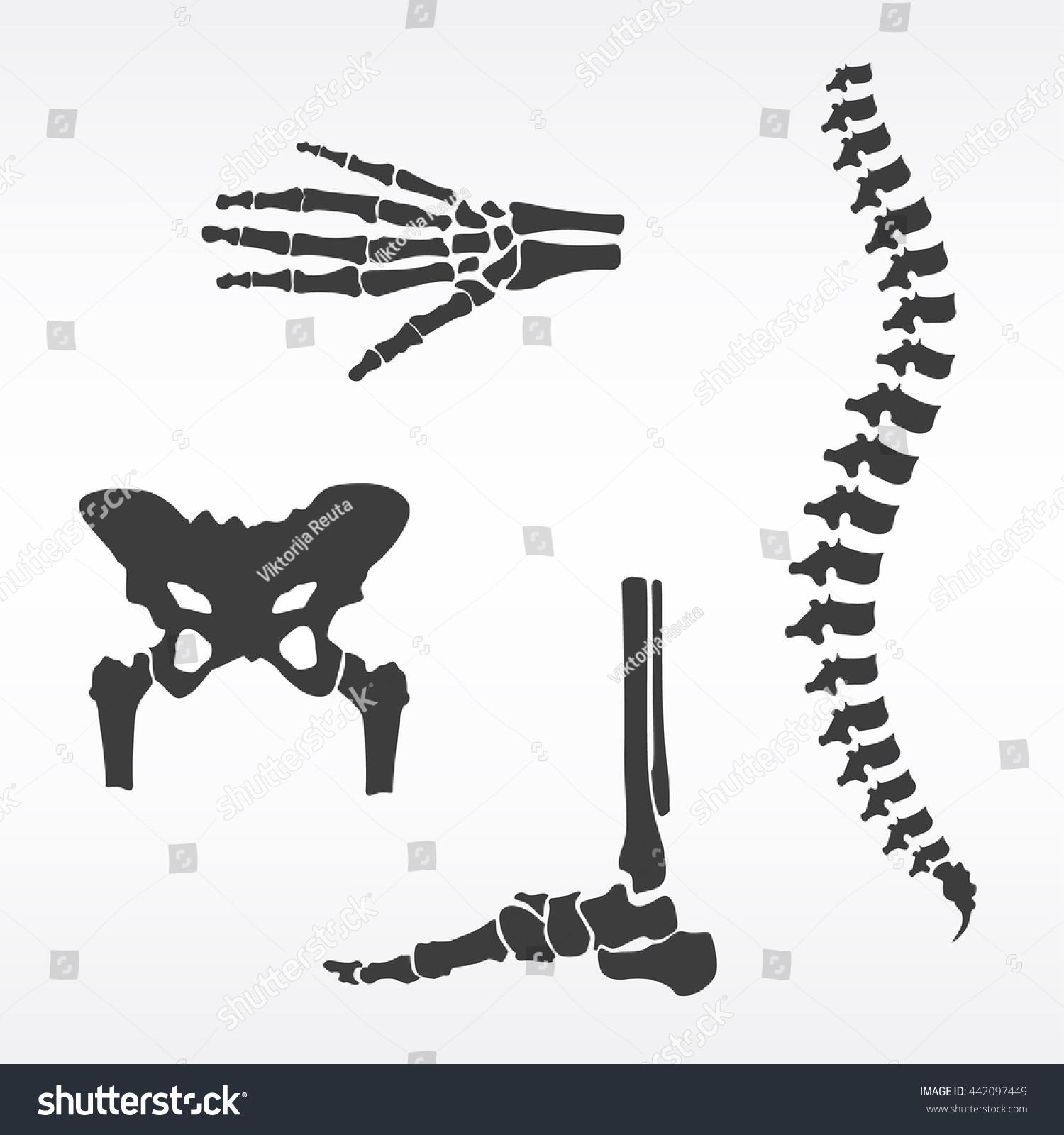 Vector Illustration Parts Human Skeleton Human Stock Photo (Photo ...