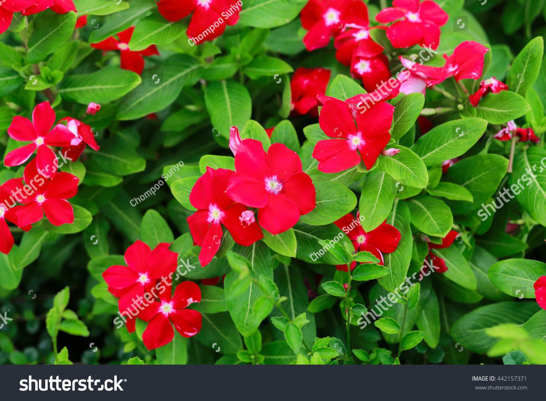Flowers Vinca Rosea Stock Photo & Image (Royalty-Free) 442157371 ...