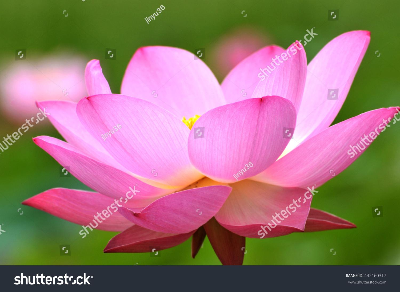 Blossom Pink Lotus Flower Ez Canvas