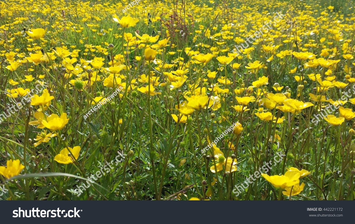 Beautiful Yellow Buttercup Flowers Creating Yellow Stock Photo Edit