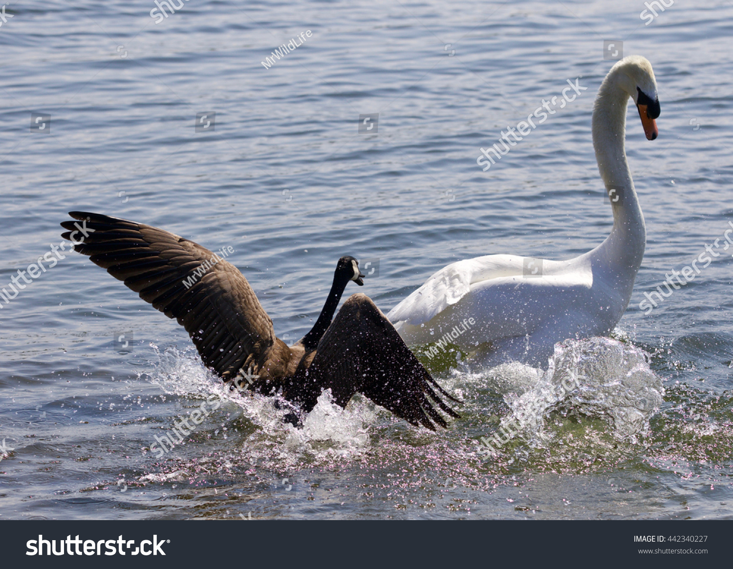 Amazing photo small canada goose attacking stock photo 442340227 amazing photo of the small canada goose attacking the swan on the lake biocorpaavc