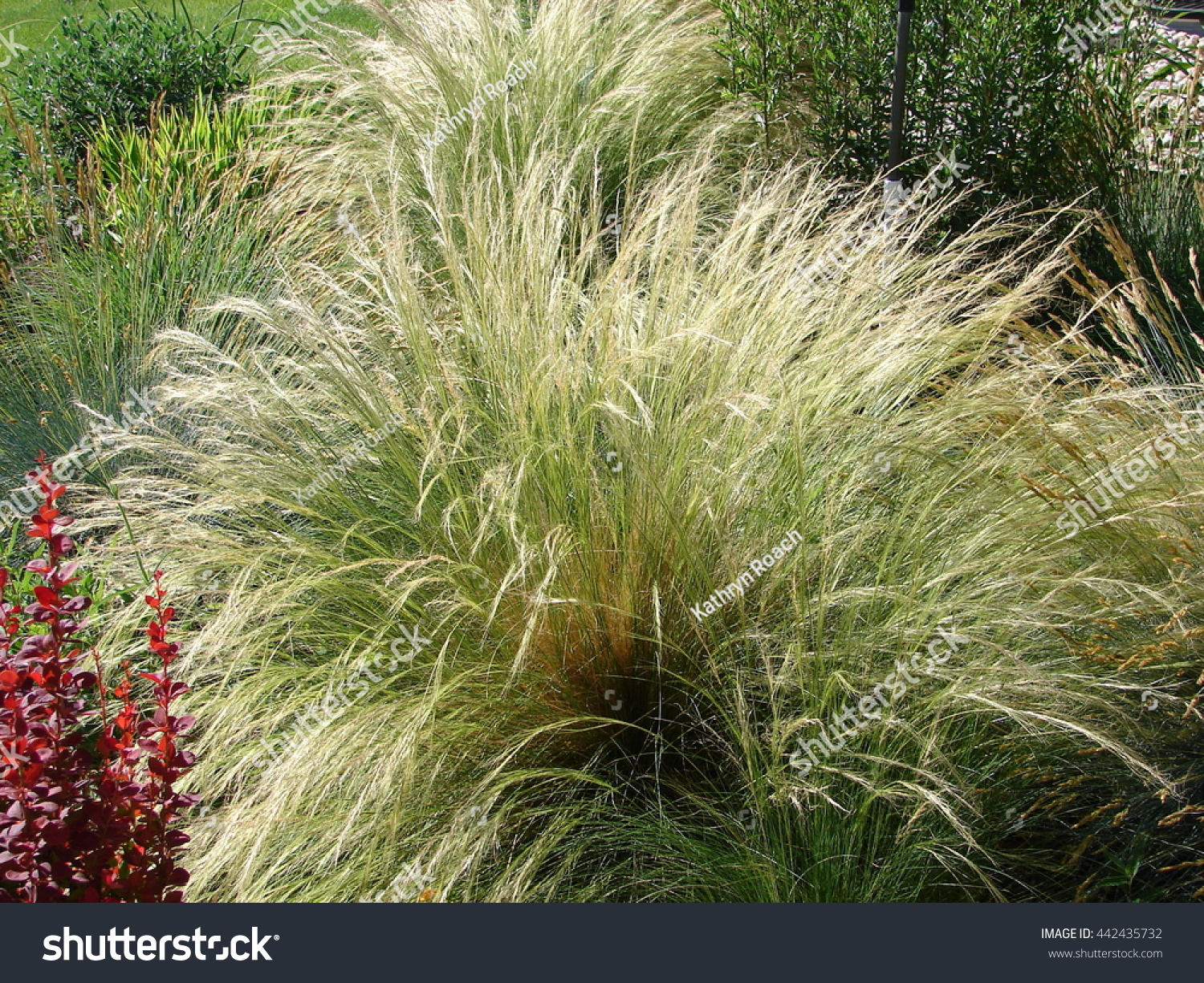 Mexican feather grass nassella tenuissima ornamental stock for Ornamental feather grass