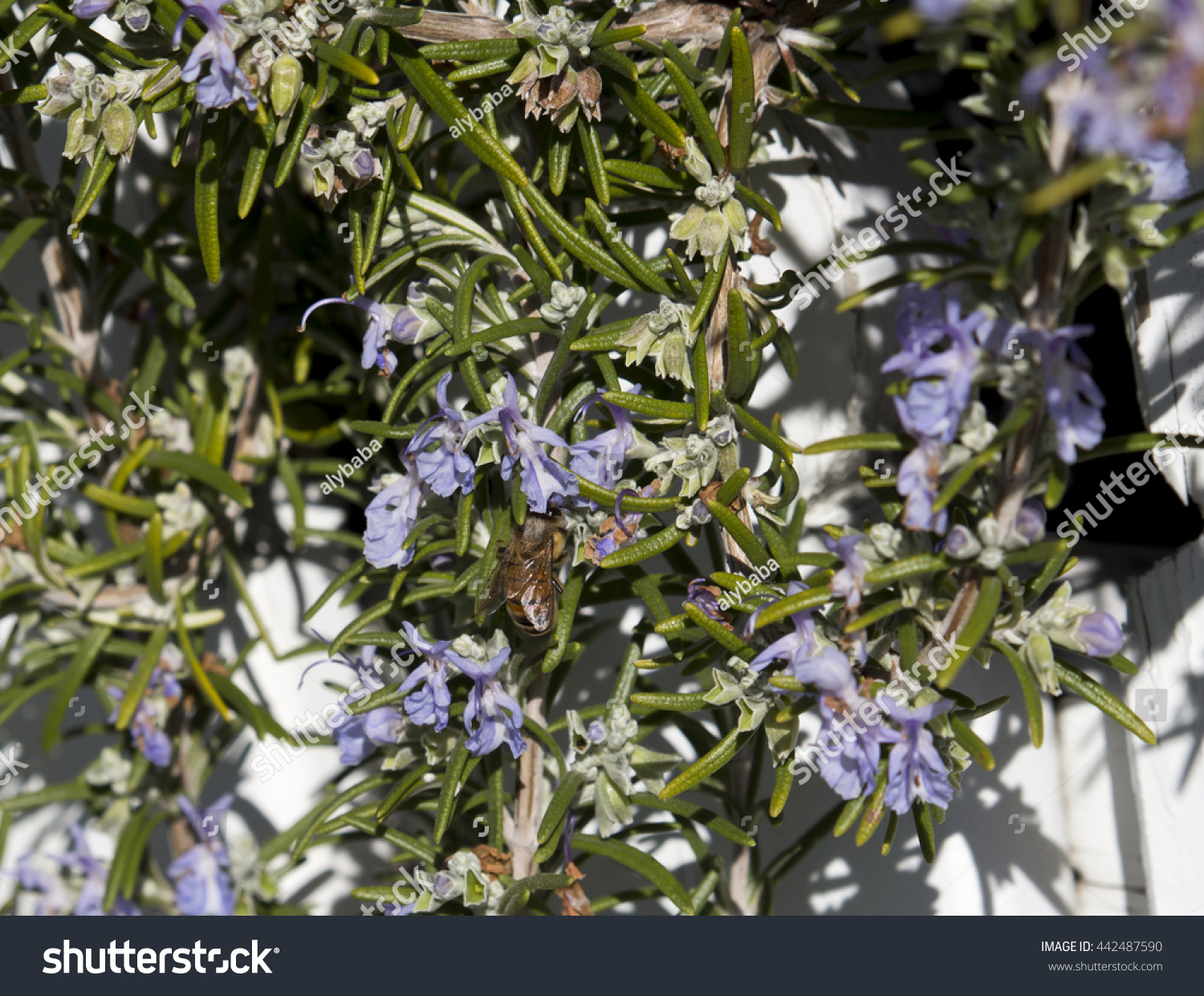 Honey Bee On Rosmarinus Officinalis Rosemary A Woody Perennial