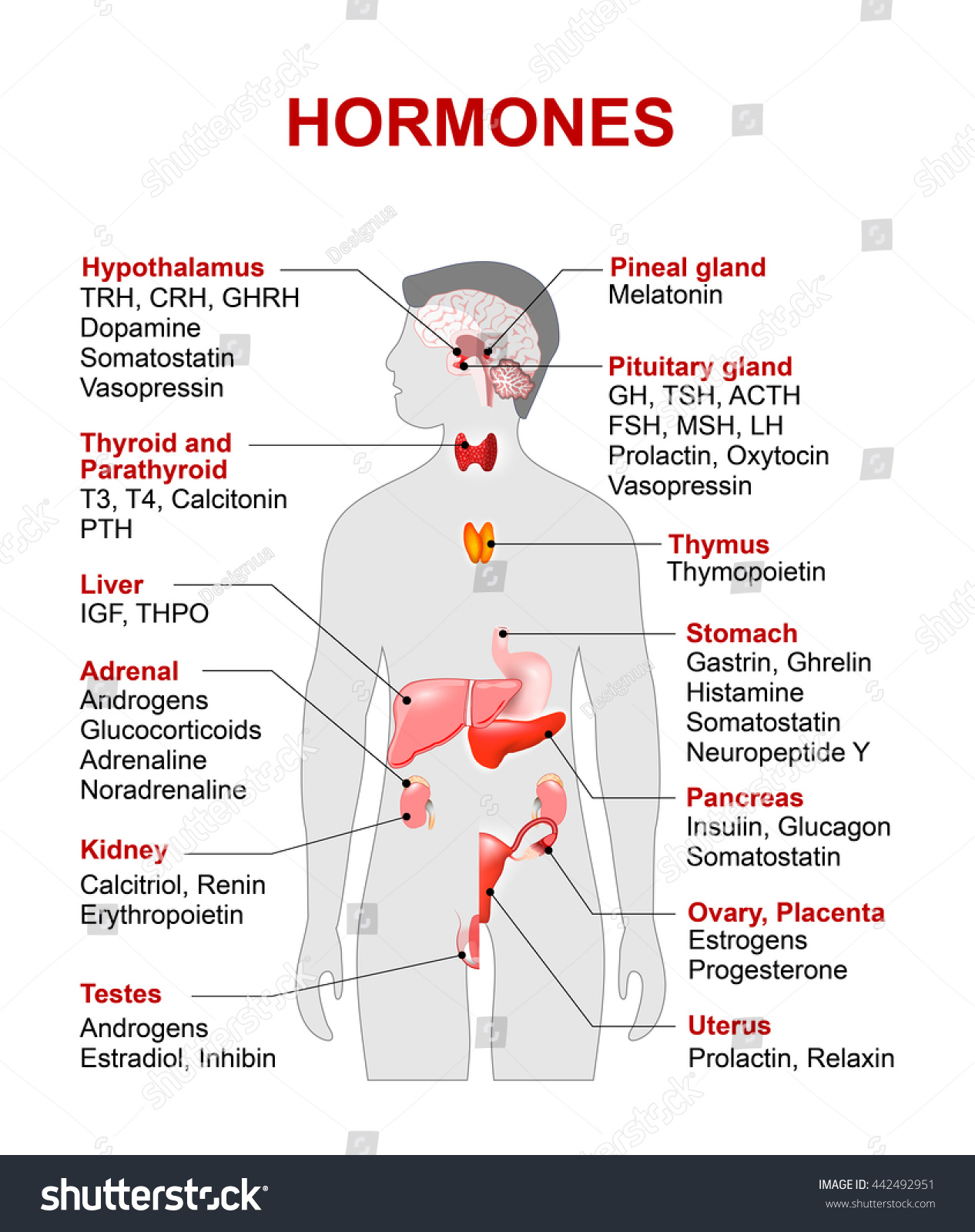 Endocrine Gland Hormones Human Silhouette Highlighted Stock
