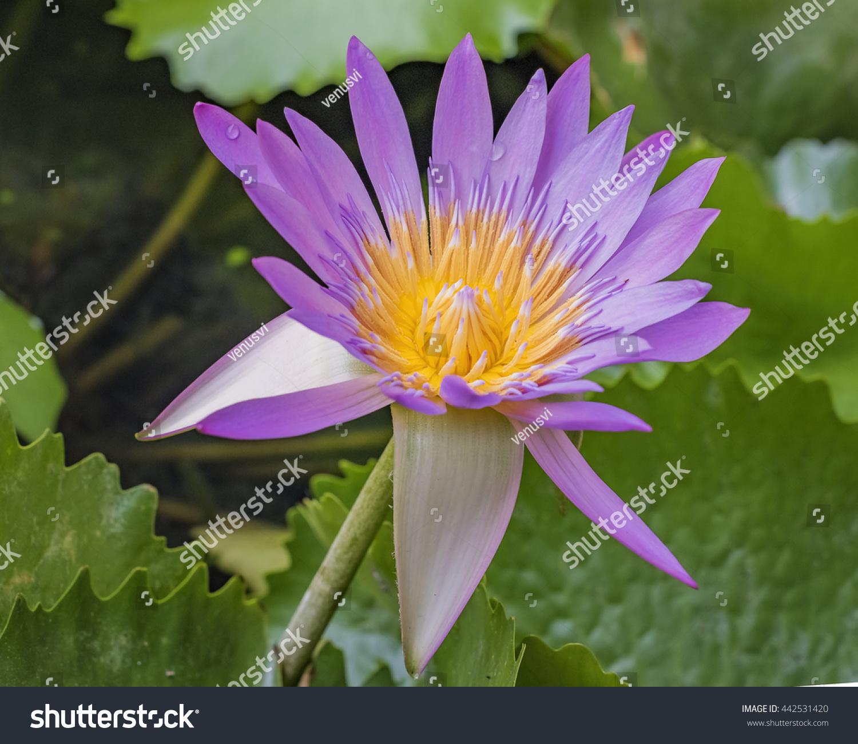 Lotus Flower Acoustic Images Flower Wallpaper Hd