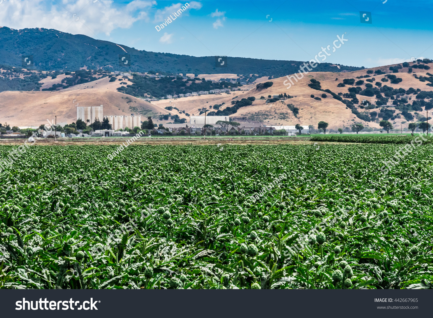 """A field of artichokes grow in the Salinas Valley, the agricultural hub known as """"the salad bowl of the world"""", in central California."""