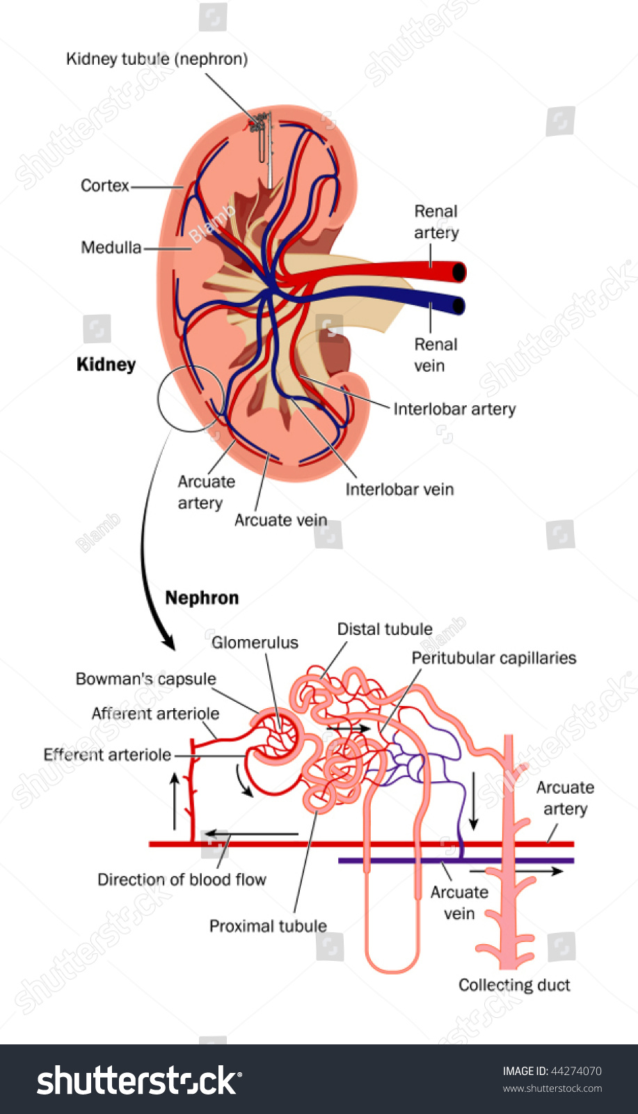 Cross Section Kidney Diagram Nephron Labeled Stock Vector 44274070 ...
