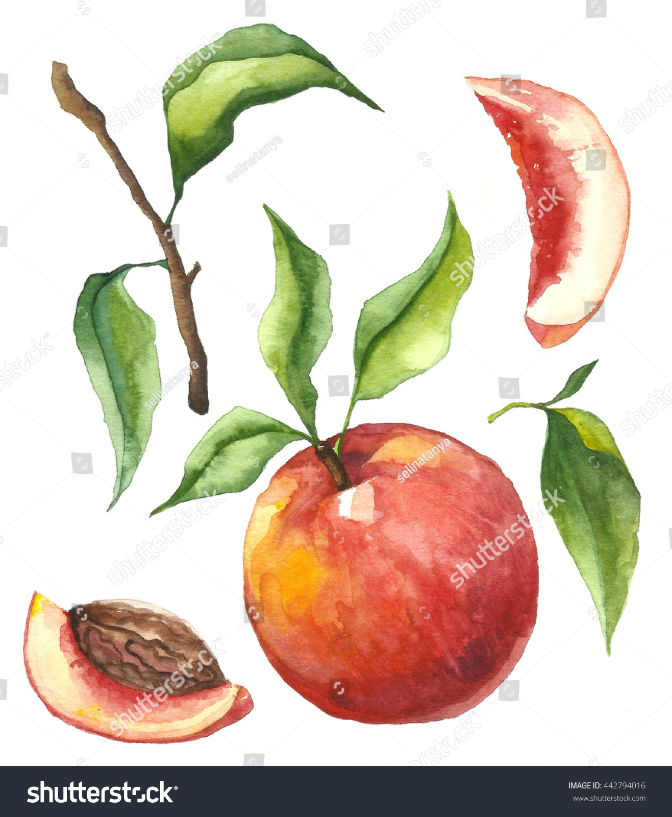 Hand Draw Watercolor Peach Fruit Leaves Stock Illustration ...