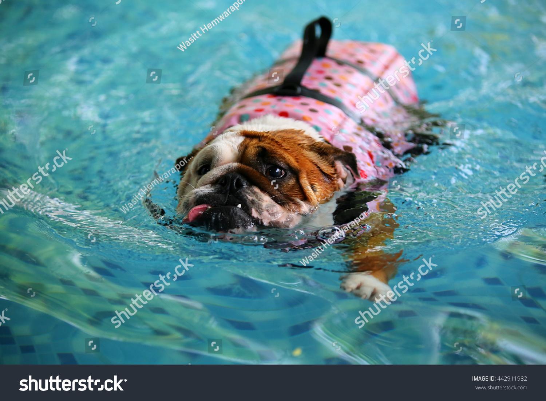 english bulldog wear life jacket swimming stock photo edit now