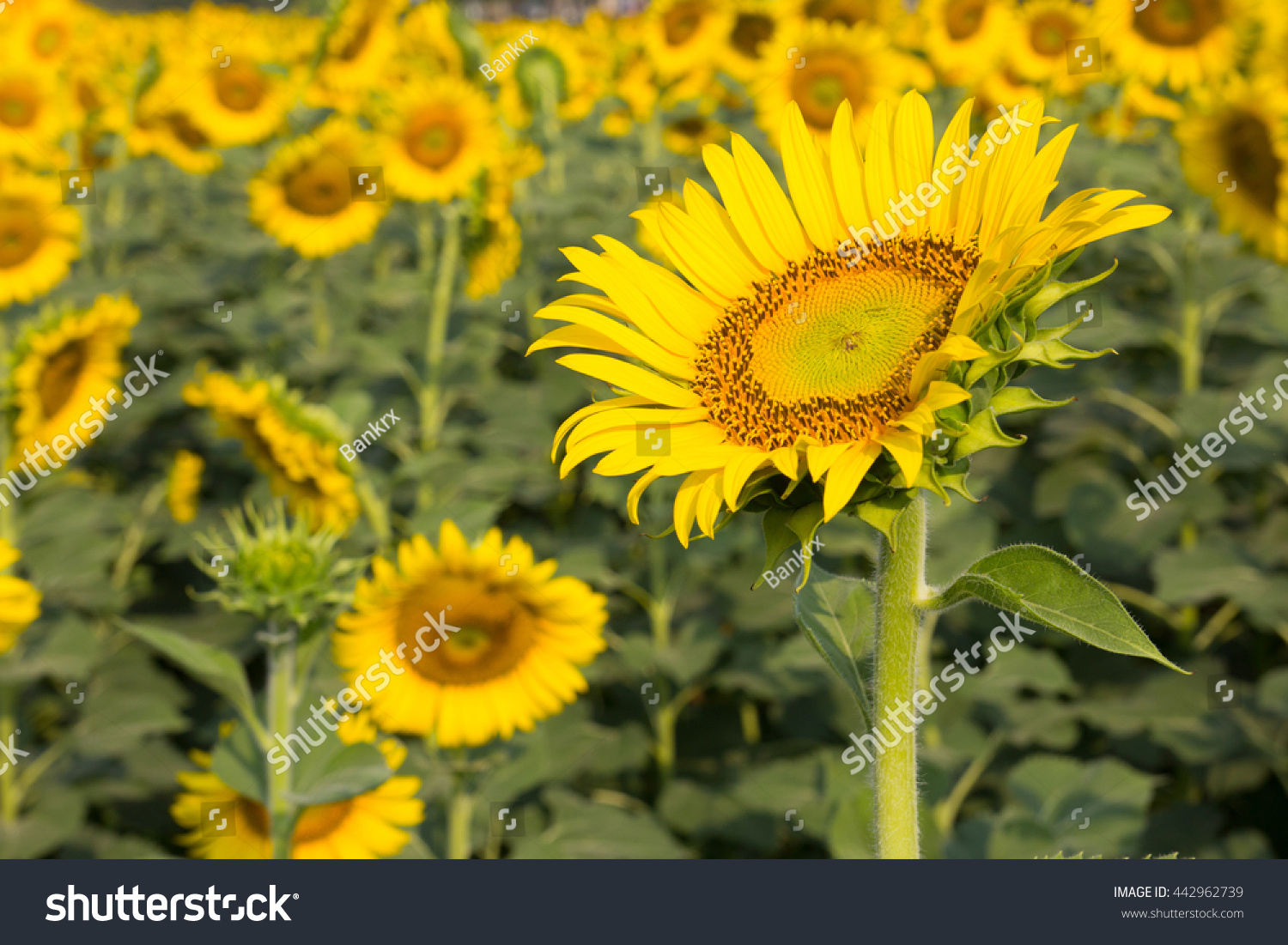 Beautiful sunflower field  #442962739