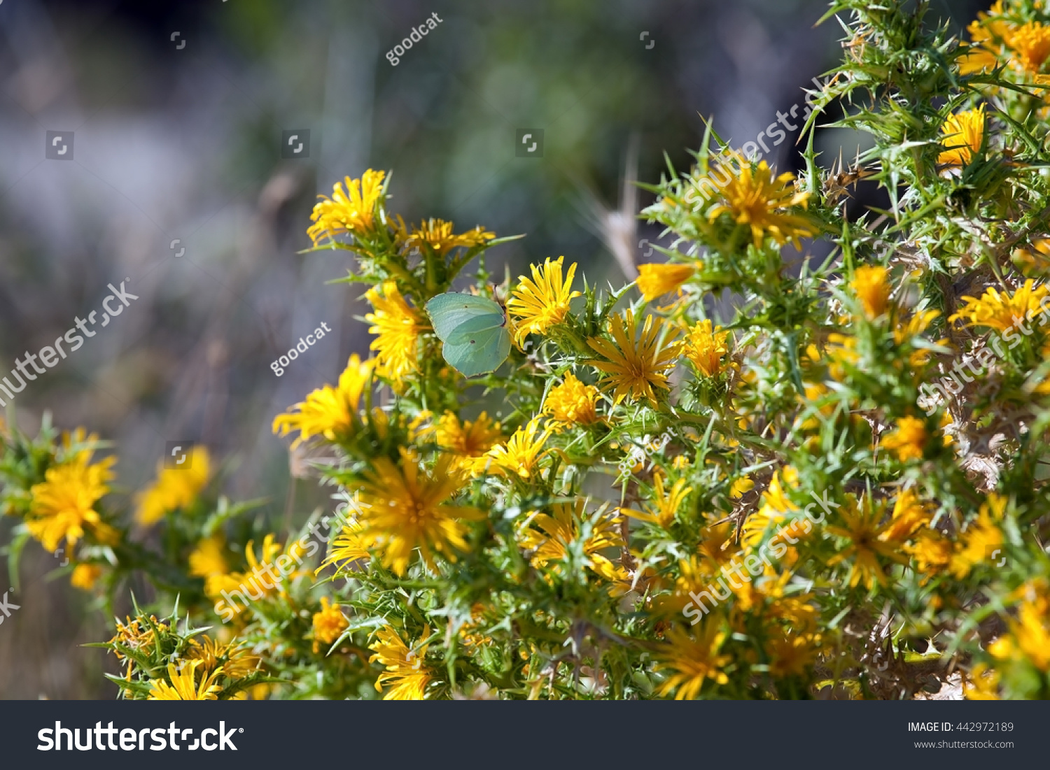 Image Colourful Spiky Bush Yellow Thistle Stock Photo Edit Now