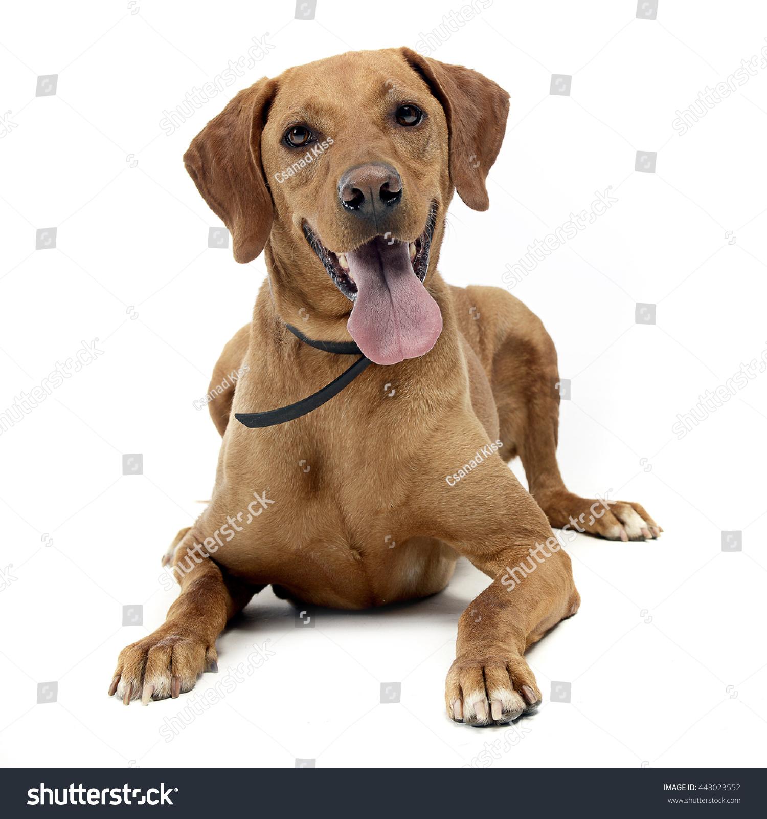 Vizsla Intelligence Brown Mixed Breed Dog ...