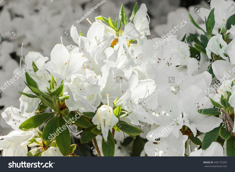 Beautiful White Flower Rhododendron Azalea Light Stock Photo Edit