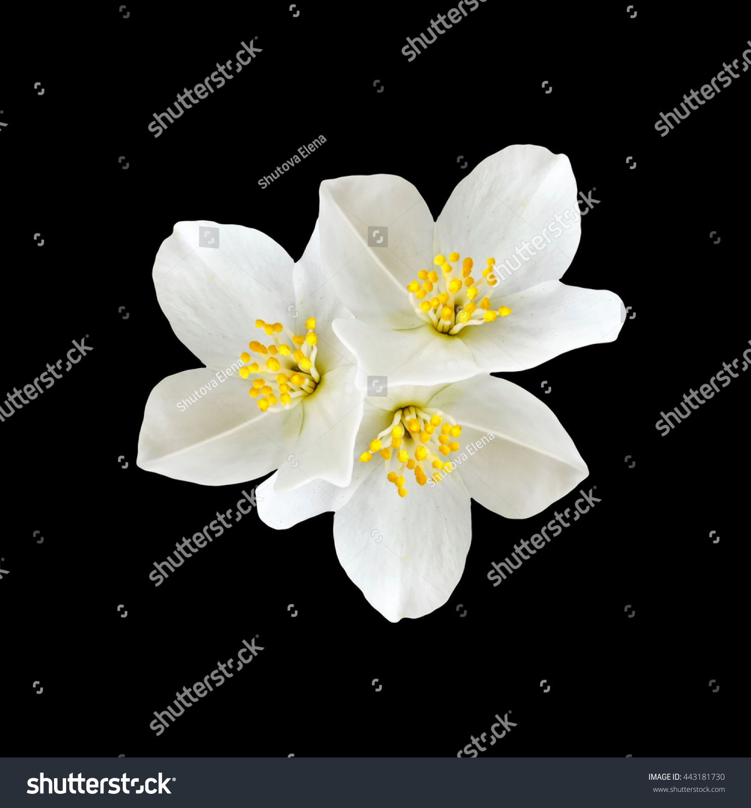 White Jasmine Flower Branch Jasmine Flowers Stock Photo Edit Now