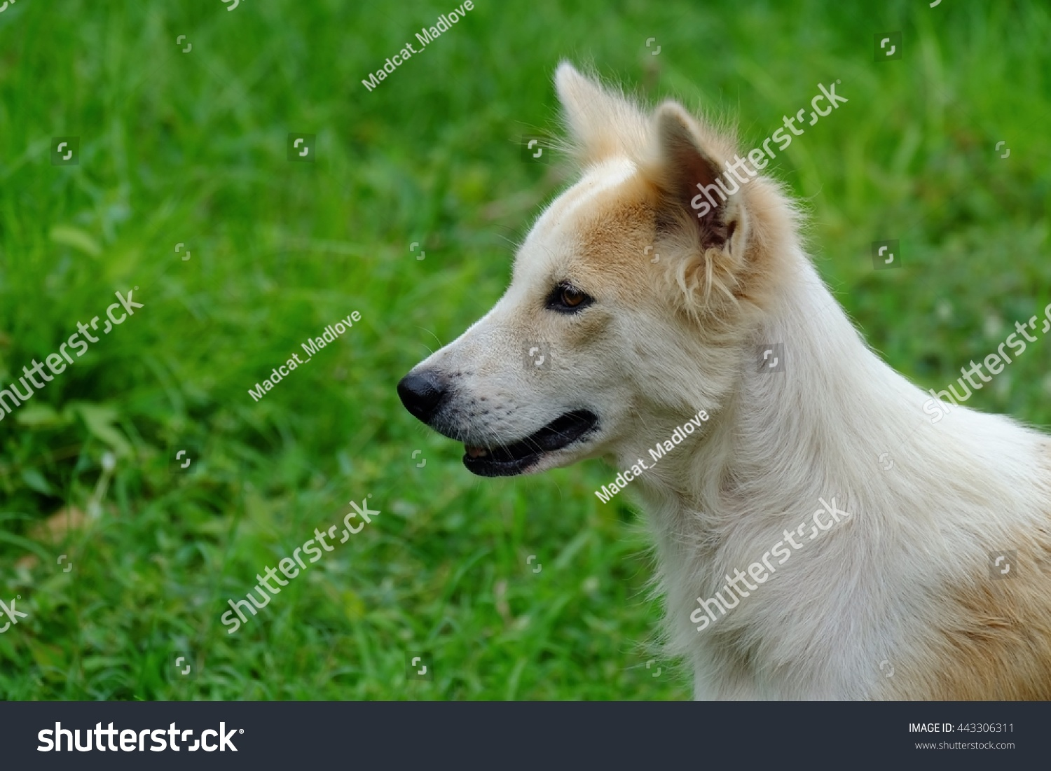 White Cute Dog Nature Wallpaper Background Stock Photo Edit Now 443306311