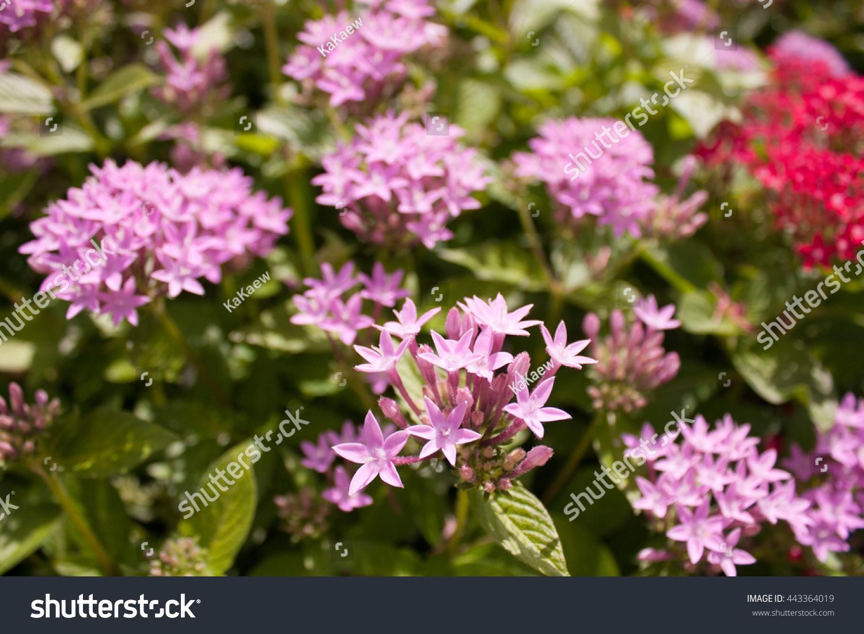 Pink Ixora Pink Spike Flower Stock Photo Edit Now 443364019