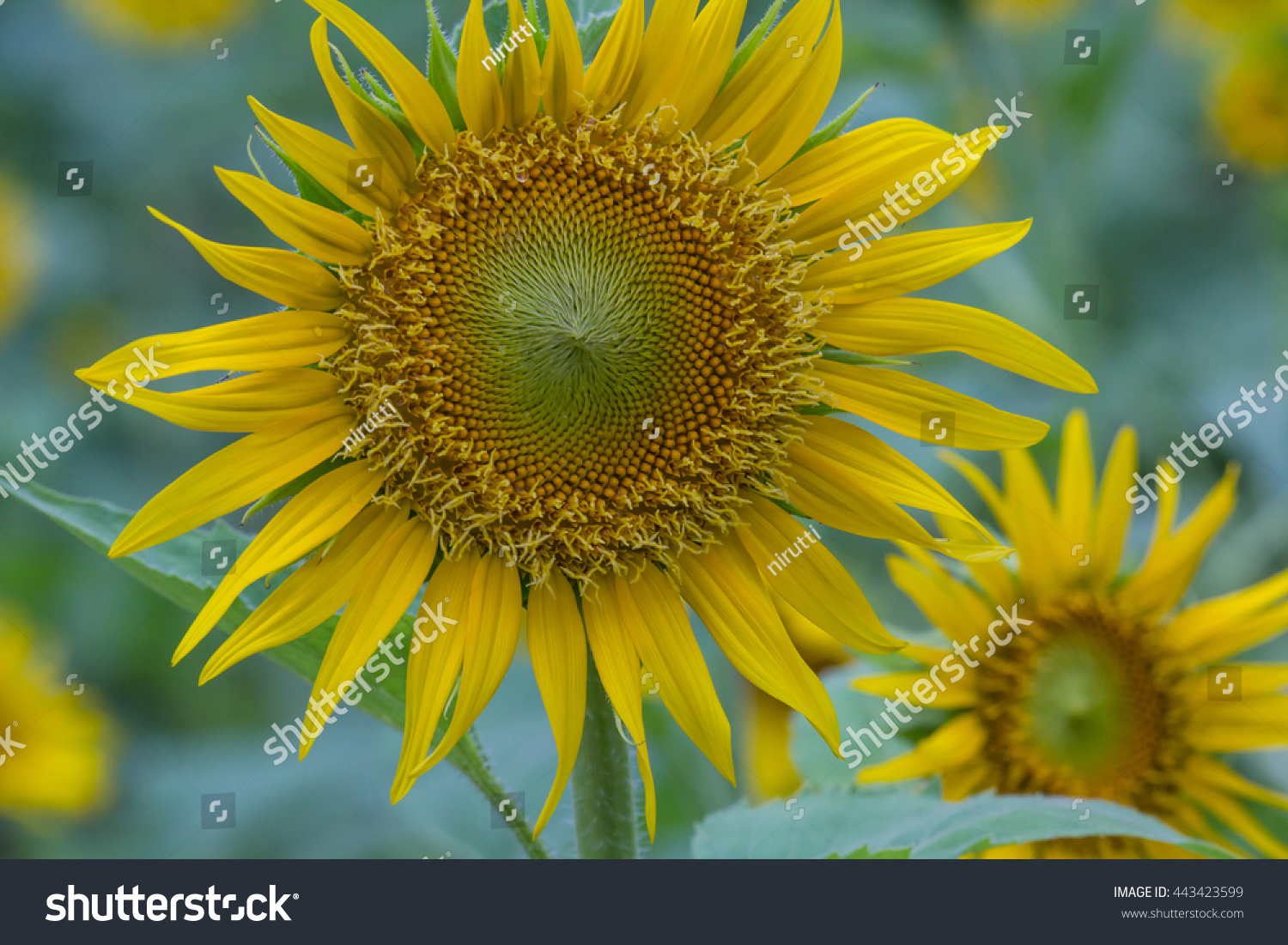 Beautiful Sunflowers Blooming In The Garden Close Up Focus Sharp