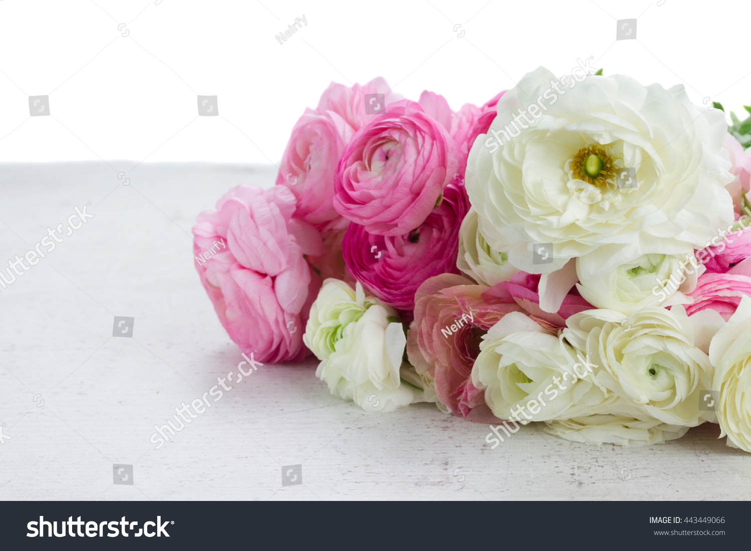 Pink And White Ranunculus Fresh Flowers On White Table Border