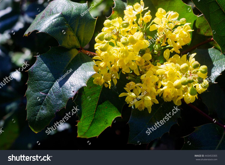 Yellow Flowering Bush Yellow Flowers Against Stock Photo Royalty