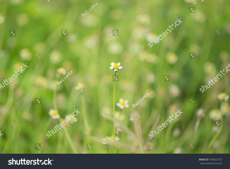 White Grass Flower With Yellow Pollen Little Iron Weed Ez Canvas