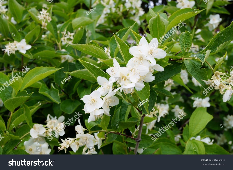 Fragrant White Flowers Philadelphus Mock Orange Stock Photo Safe To