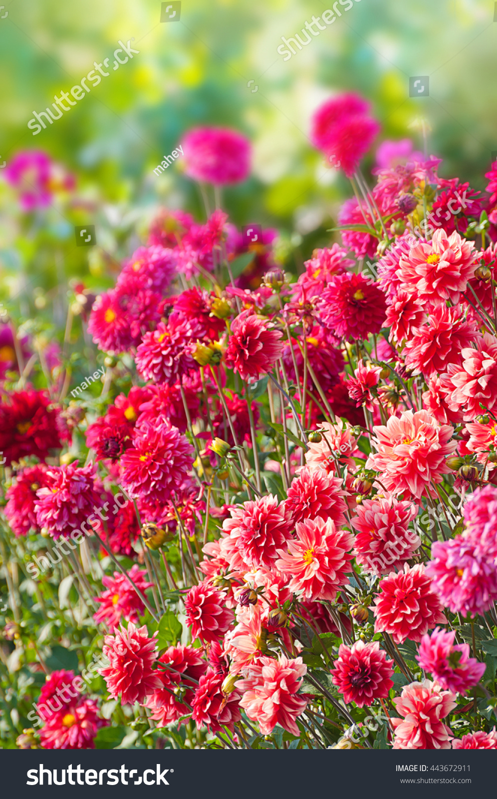Blooming Dahlia Flower Bed Pink Magenta Stock Photo Edit Now