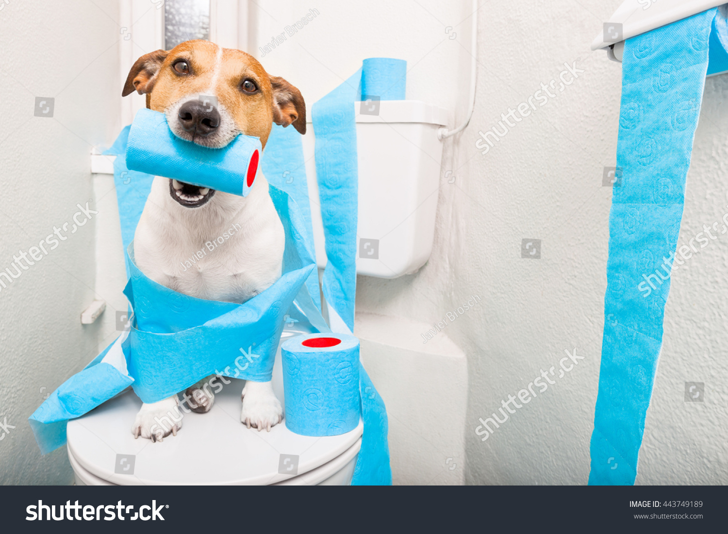 How to go to bathroom when constipated - Jack Russell Terrier Sitting On A Toilet Seat With Digestion Problems Or Constipation Looking Very