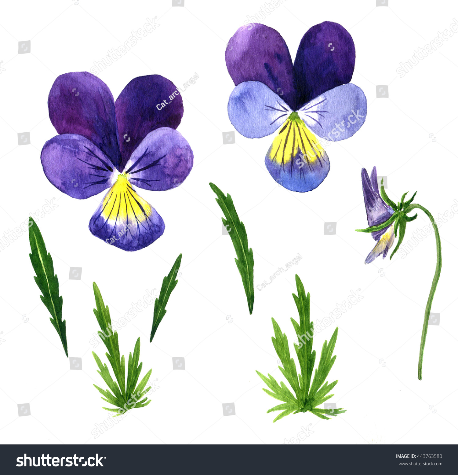 ... Drawing Set of watercolor drawing violet flowers,buds and leaves