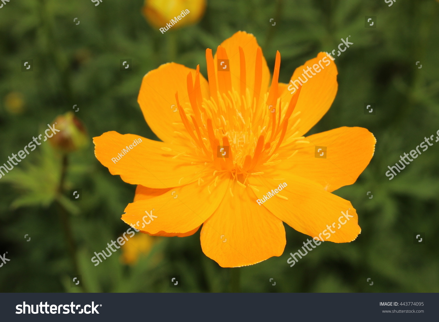 Yellow Orange Asian Globeflower Or Only Globe Flower In St
