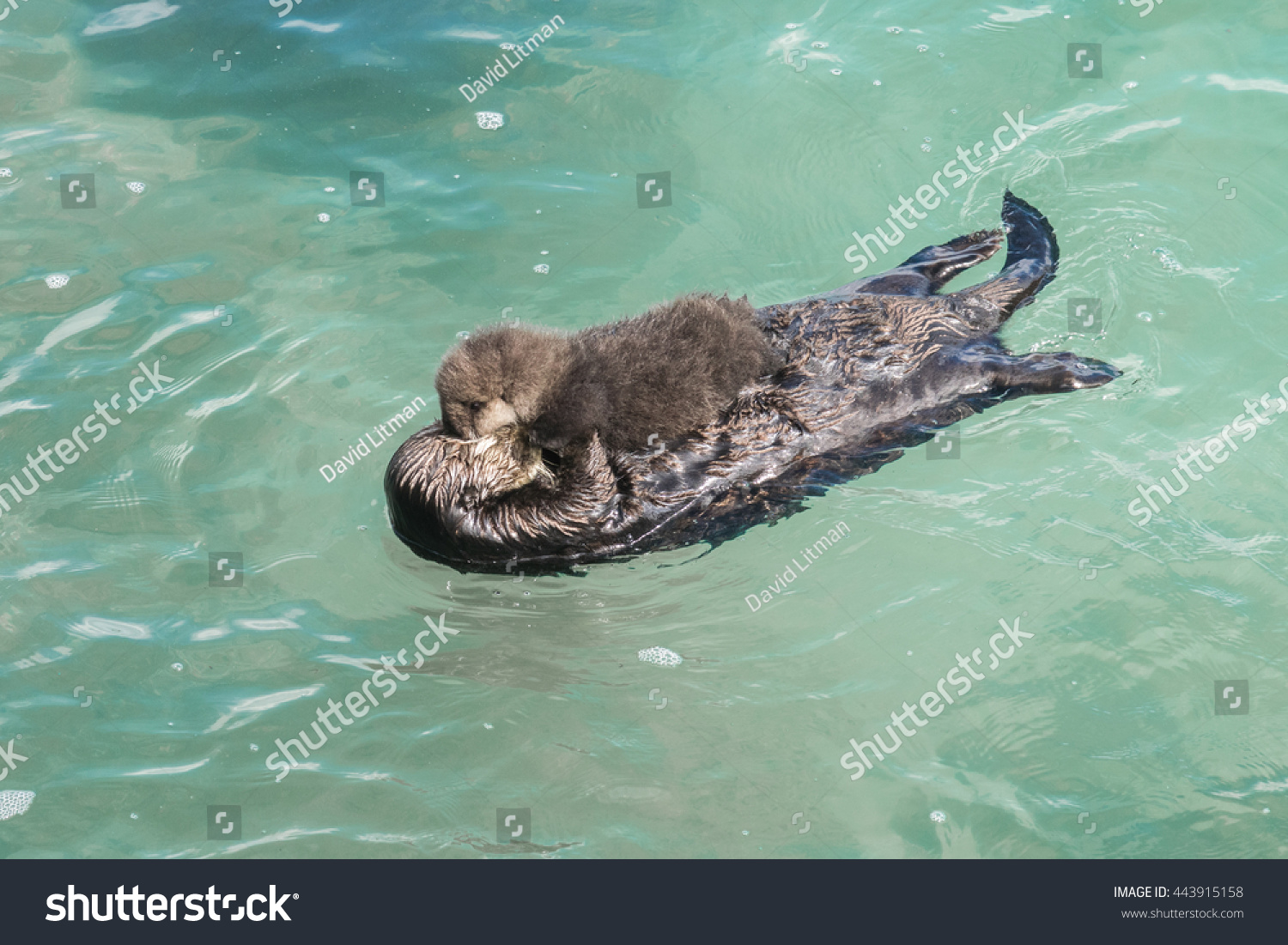 A wild mother Southern Sea Otter (Enhydra lutris) and her newborn pup float in the water of a quiet cove, in Monterey Bay, California.