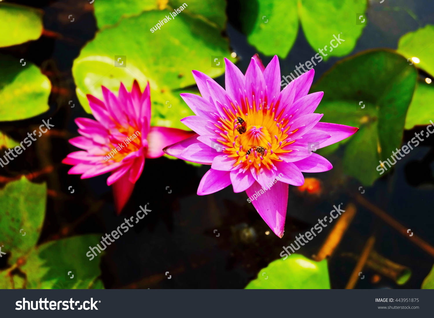 Top view lotus flower on blur stock photo royalty free 443951875 top view of lotus flower on blur and low lighting background izmirmasajfo