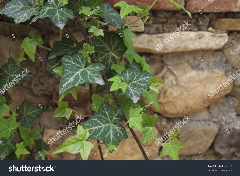 Wild Vine Foliage White Streaks Front Stock Photo Royalty Free
