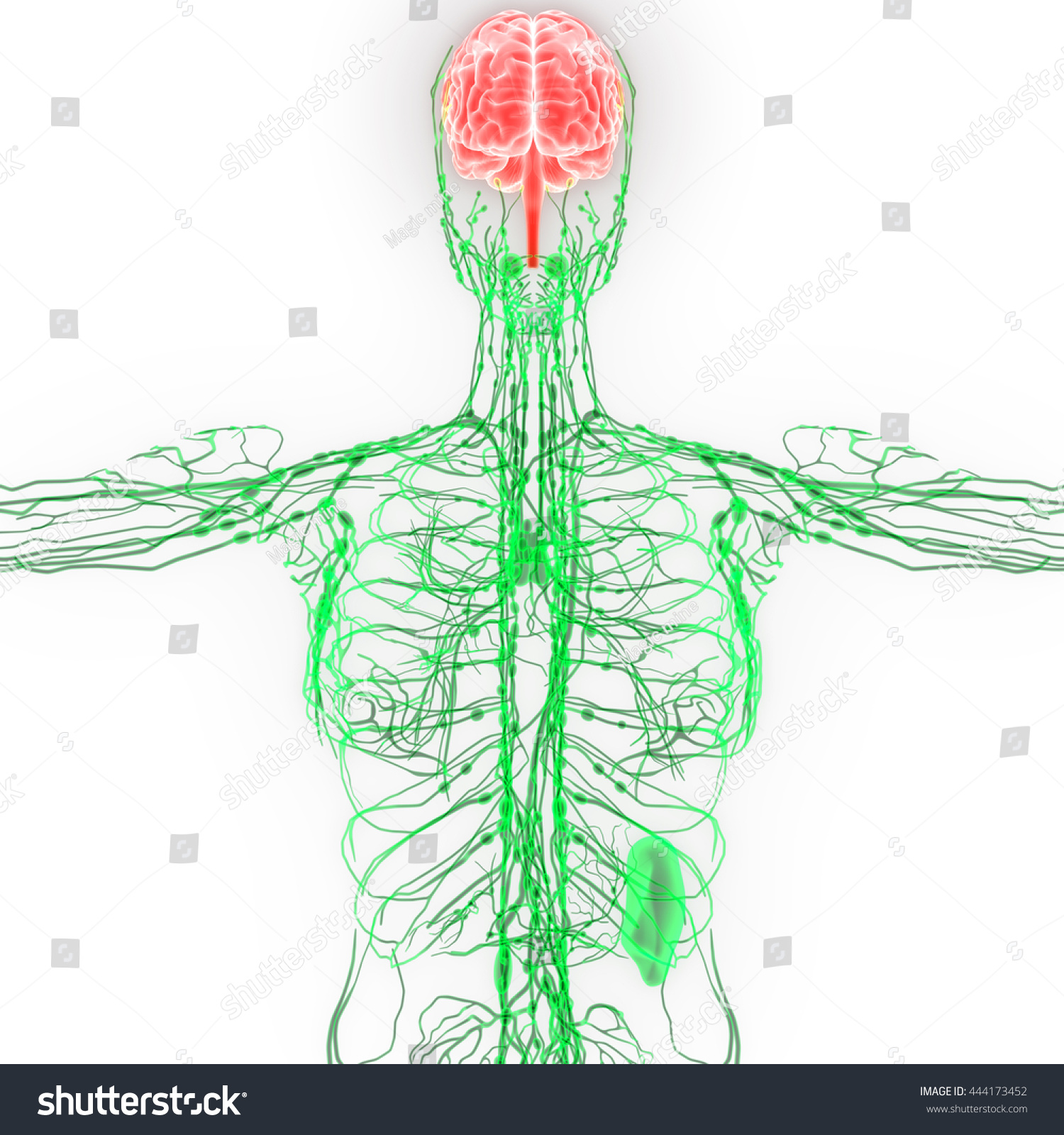 Human Brain Nerves Lymph Nodes Anatomy Stock Illustration 444173452 ...
