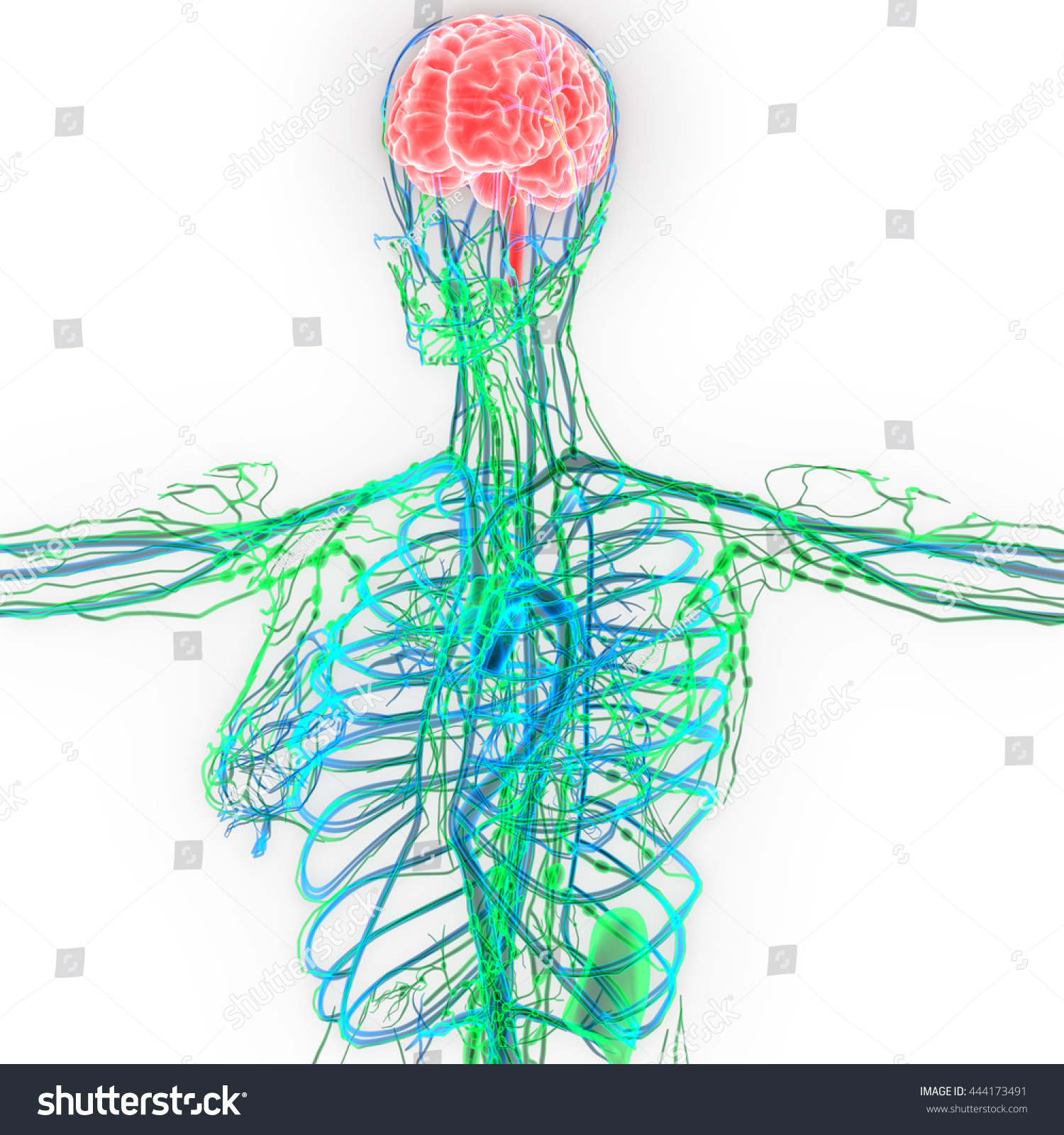 Human Brain Nerves Lymph Nodes Veins Stock Illustration 444173491 ...